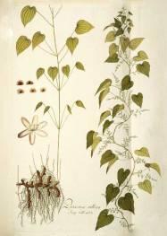 wild_yam_botanical_drawing