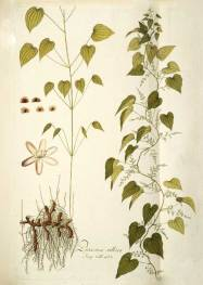wild_yam_botanical_drawing